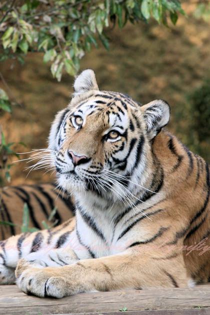 Tiger201210251