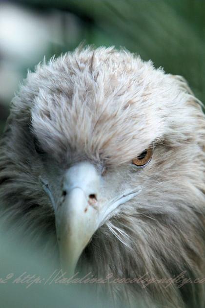 Whitetailed_eagle20121025