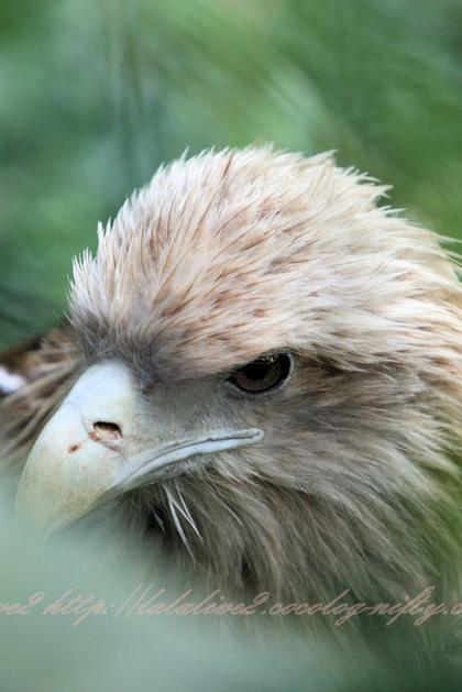 Whitetailed_eagle201210252