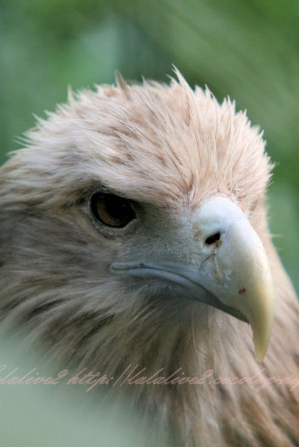 Whitetailed_eagle201210251_2