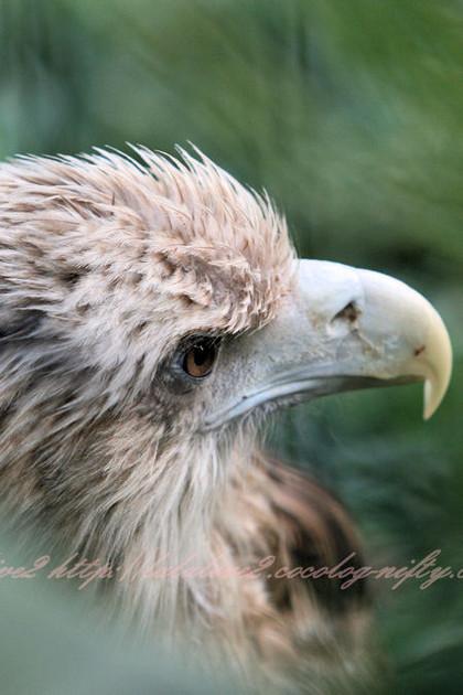 Whitetailed_eagle201210253_3