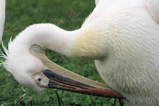 Pelican201209243