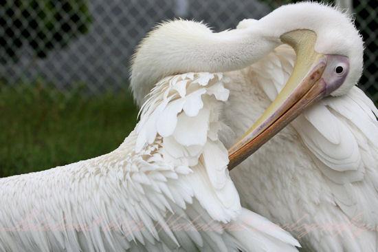 Pelican201209244