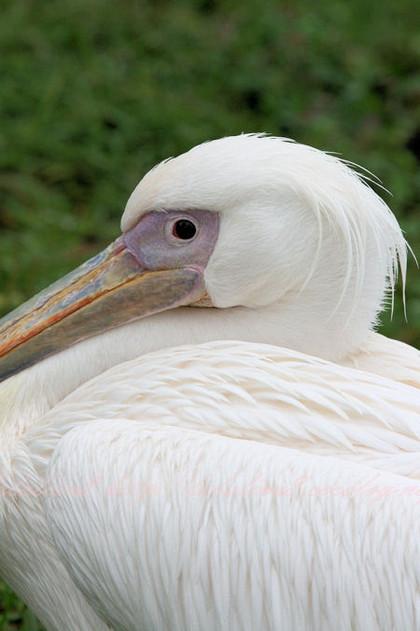 Pelican201209245