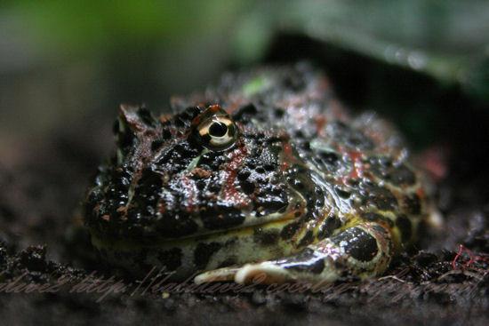 Argentine_horned_frog20120907
