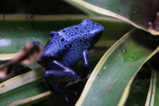 Blue_poison_dart_frog20120907