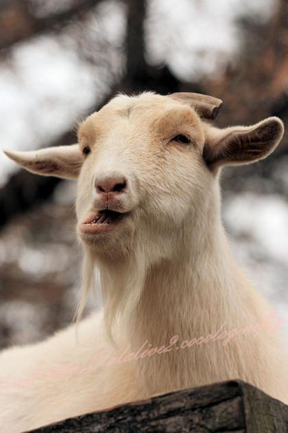 Goat201212211