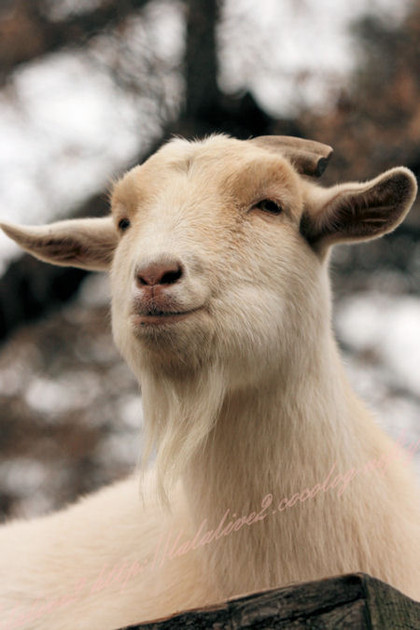 Goat201212212