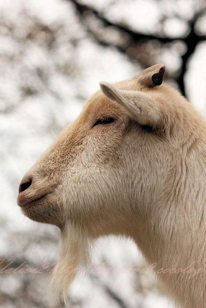 Goat201212213