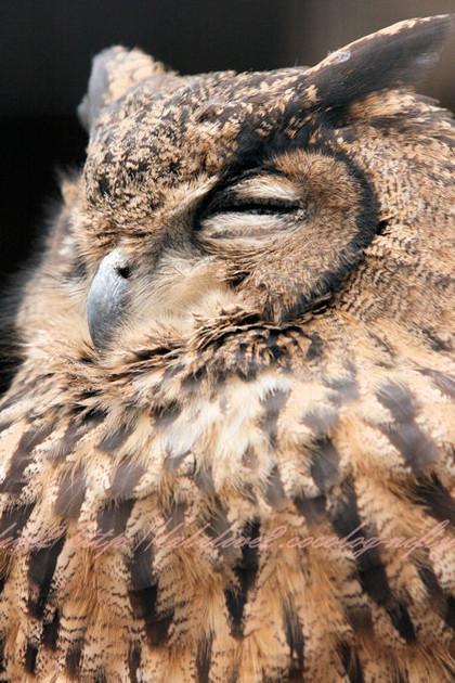 Owl20121221