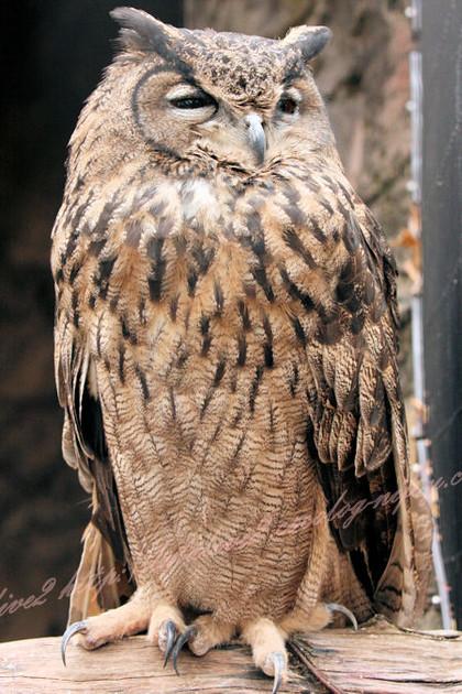 Owl201212211
