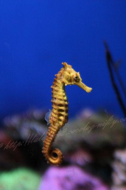 Seahourse20120907