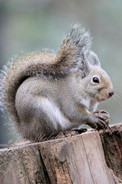 Squirrel201212216