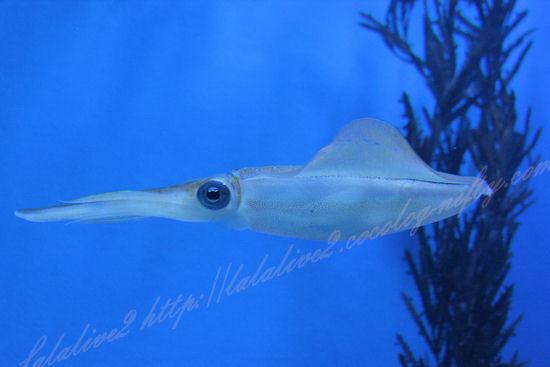Squid201209071