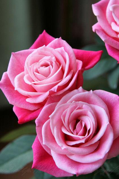 Roseblog1