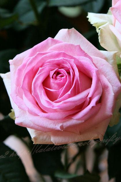 Roseblog2