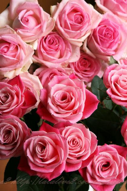 Roseblog3