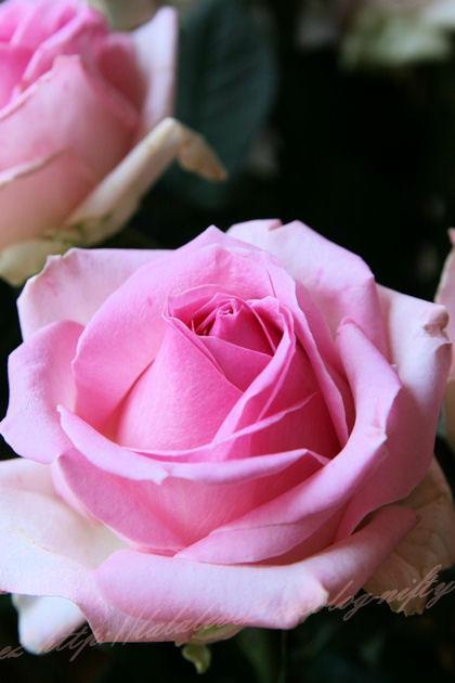 Roseblog4