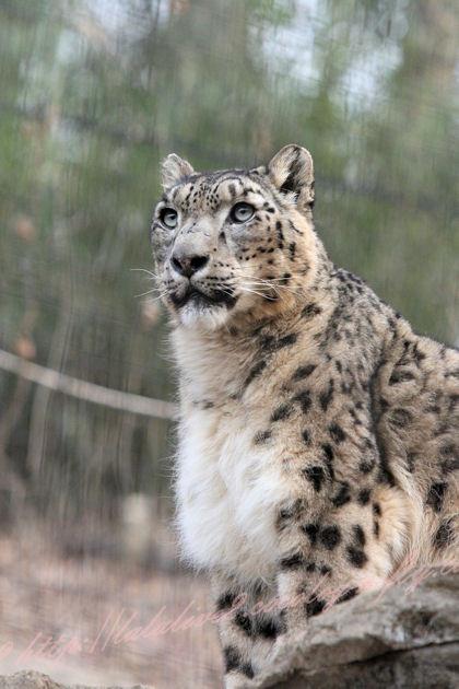 Snowleopard_3