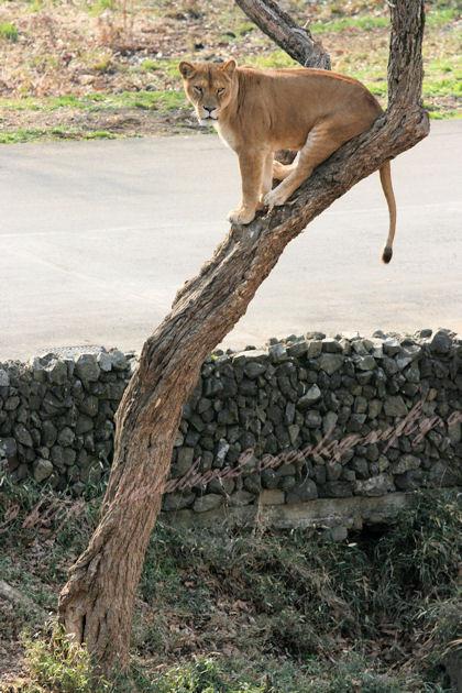 Lioness20130307
