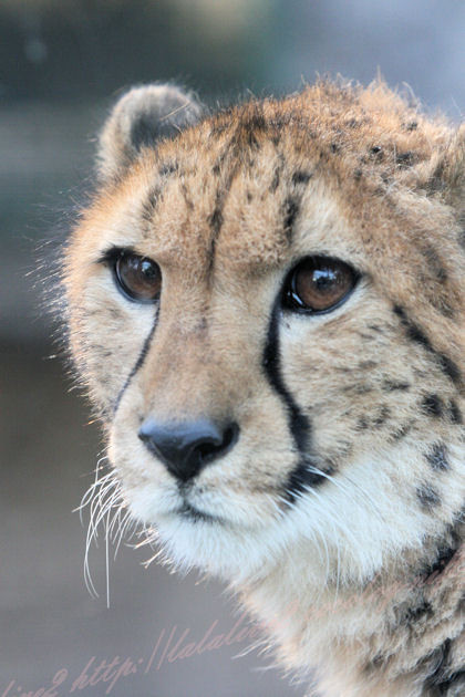 Cheetah20130307