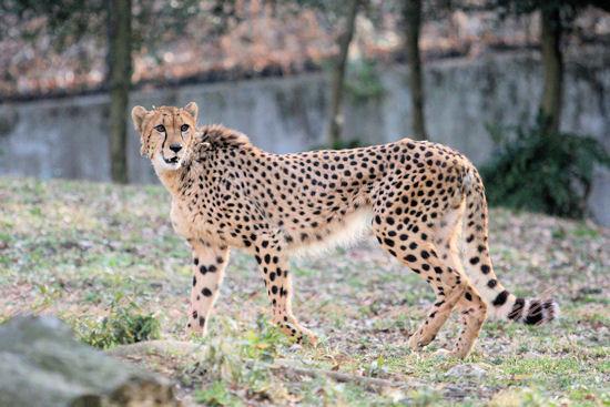 Cheetah201303071