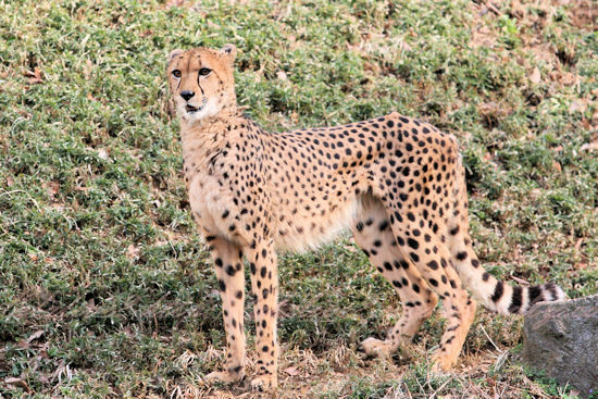 Cheetah201303074