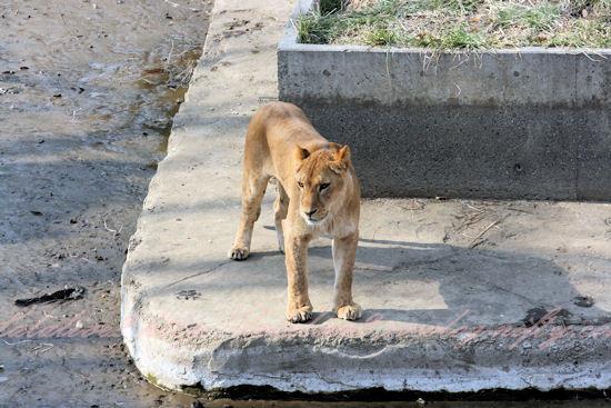 Lionessisland