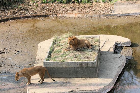 Lionessisland2_2