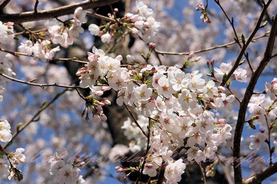 Sakura201303211_2