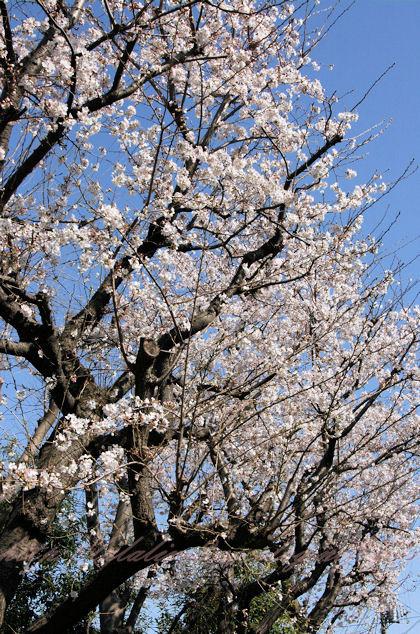 Sakura20130321_2