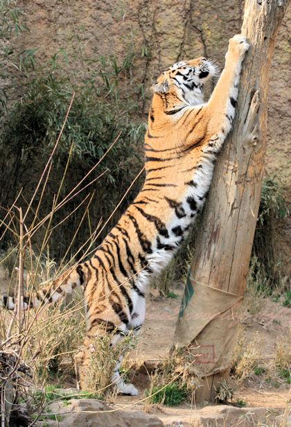 Tiger20130307