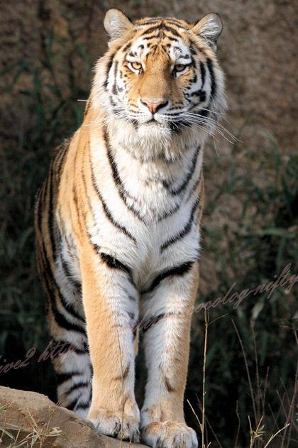 Tiger201303071