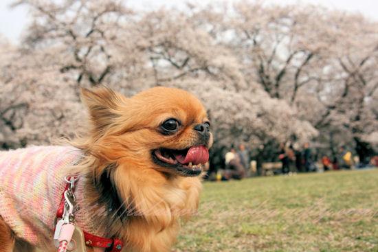 Cherry_blossoms3_3