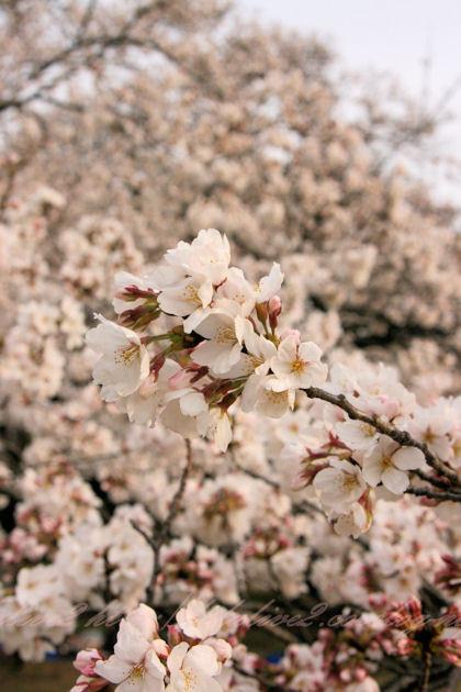 Cherry_blossoms5