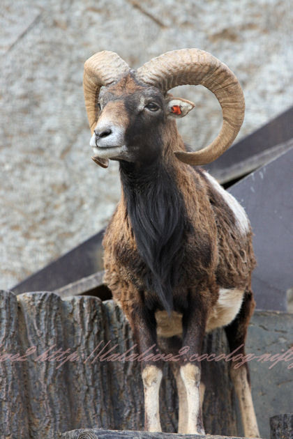 Mouflon2_2