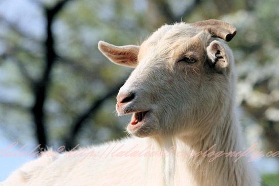 Goat20130411