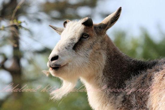 Goat201304111_2