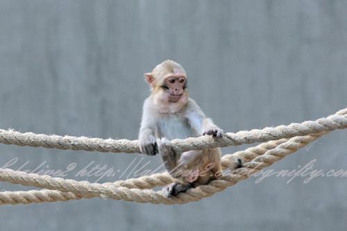 Monkey201304116