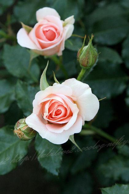 Roses201305