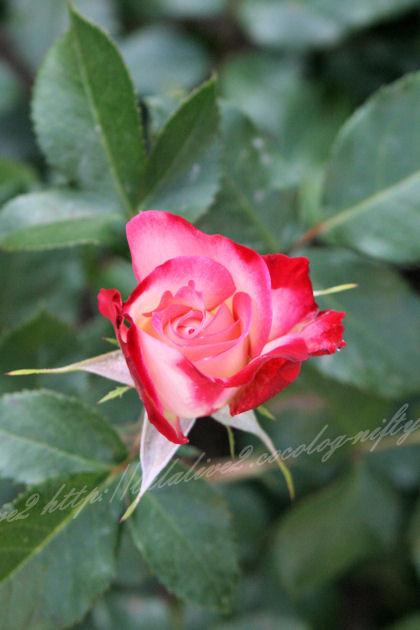 Roses2013051_2