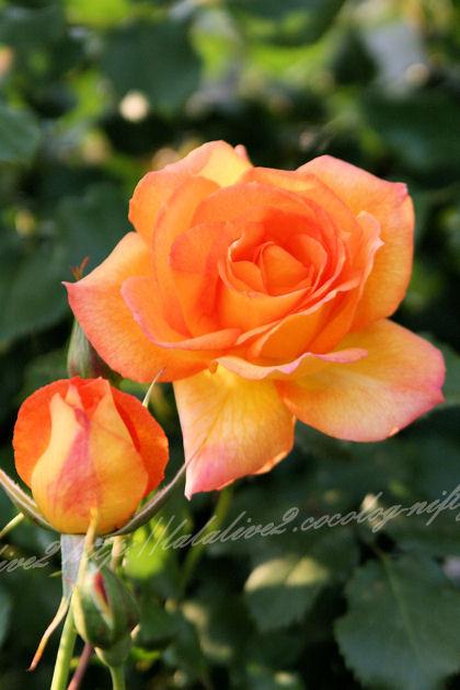 Roses2013052
