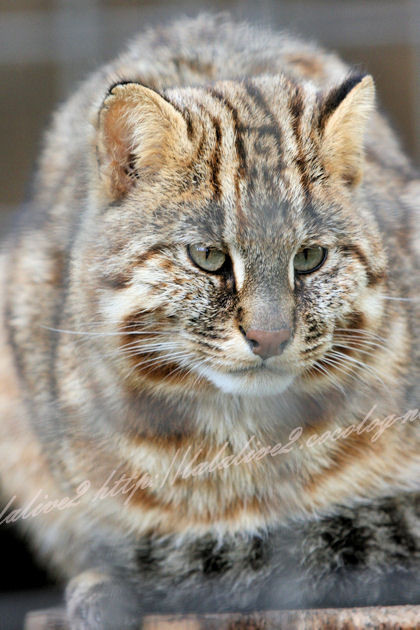Leopard_cat20130411