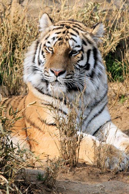 Tiger201303072