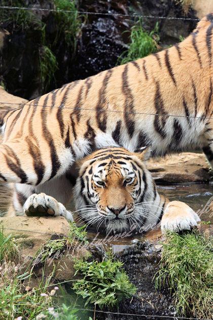 Tigers201305271