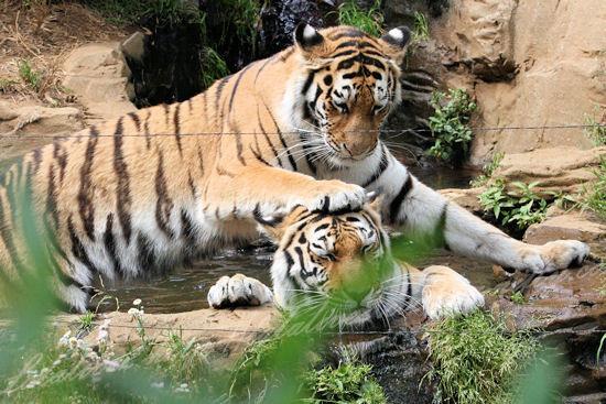 Tigers201305272