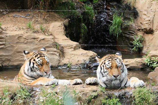 Tigers201305275