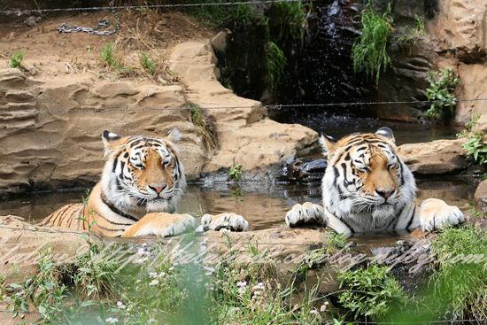 Tigers201305276_2
