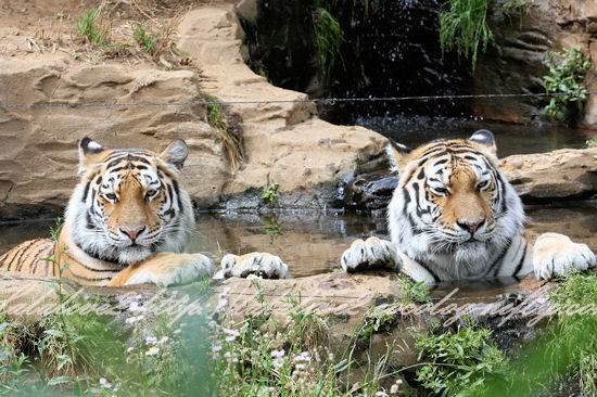 Tigers201305277
