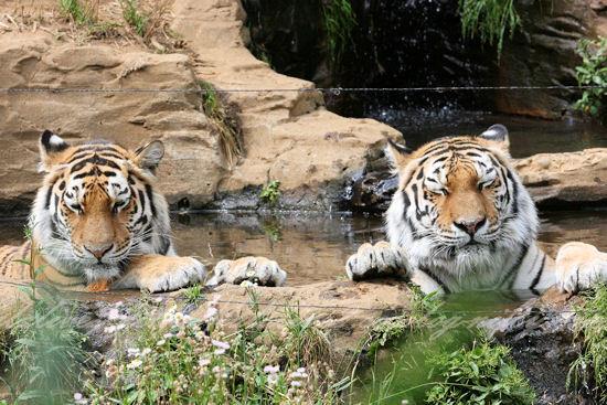 Tigers201305278